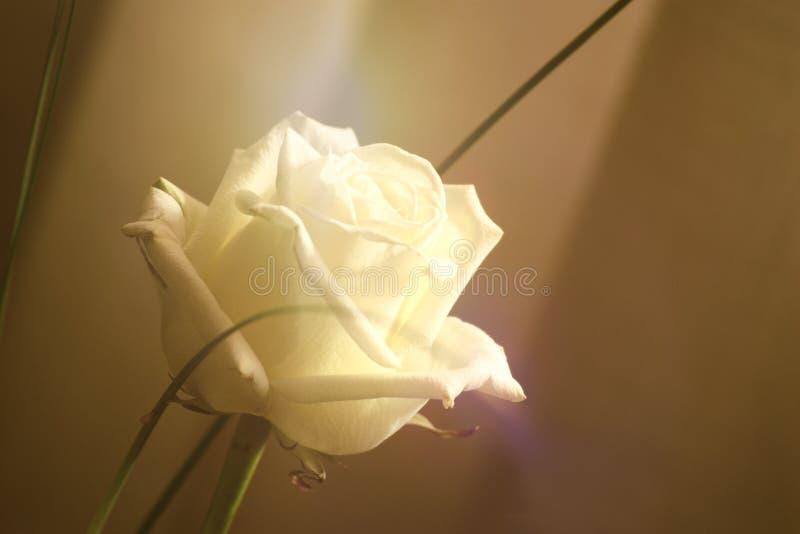 Weißrosenblume gegen einen weißen Hintergrund Sepia tonte Bild und leeren Kopienraum lizenzfreie stockfotografie