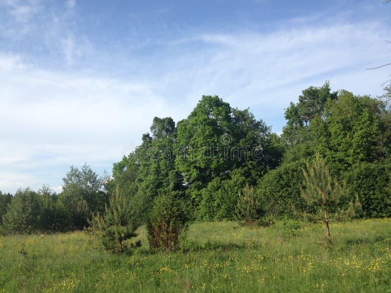 Weißrussland-Wald stockfotos