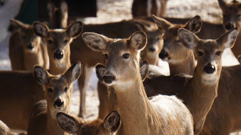 Weißwedelhirsch-Herde lizenzfreie stockfotografie