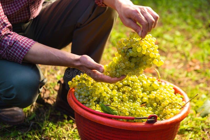 Weißweintrauben in den roten Eimern stockbild
