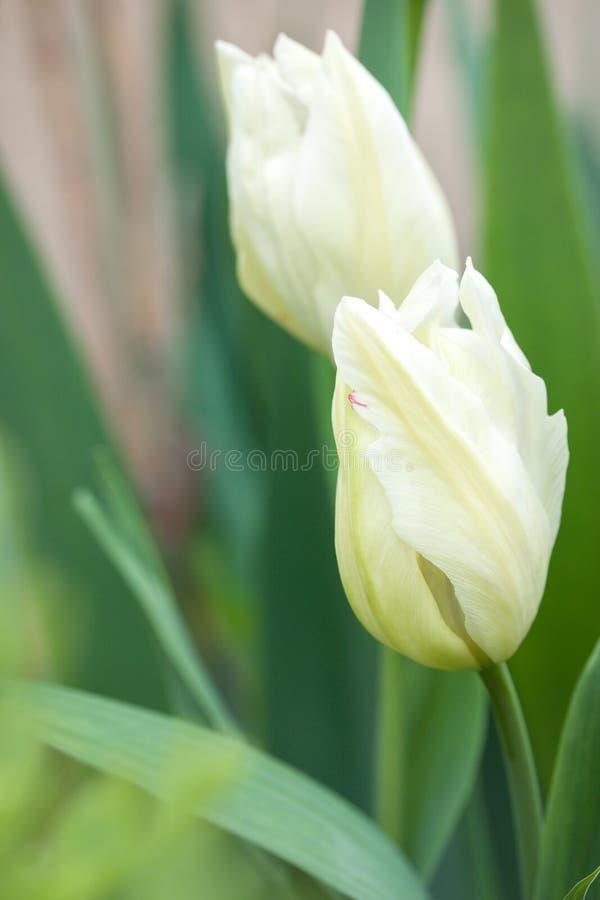 Weiße geschnitzte Tulpe lizenzfreie stockfotos