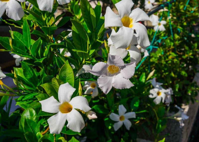 Weiße glockenförmige Trichterblume Mandeville draußen im Garten stockfotos