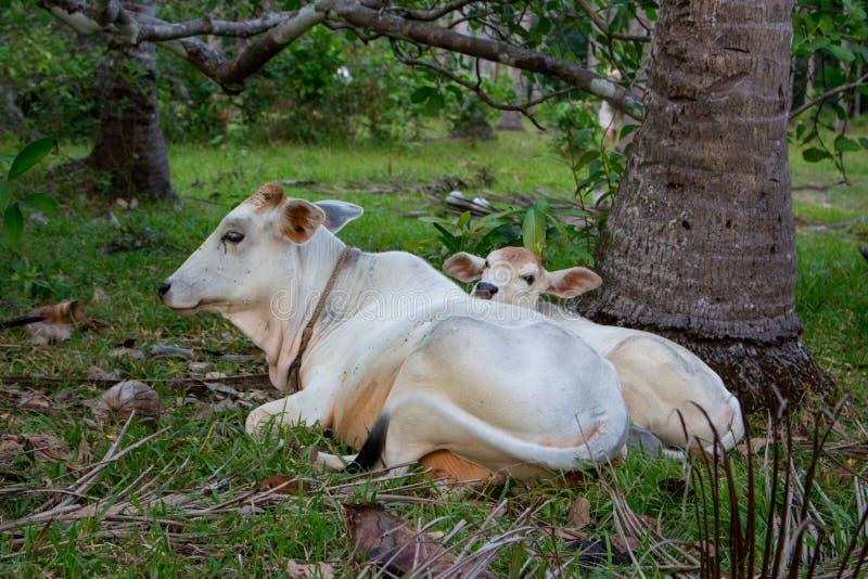 Weiße Kuh und Kalb, die auf dem Gebiet weiden lässt und liegt Rinderfarmkonzept Ländliche Haustiere Kuh und nettes Fohlen an der  lizenzfreie stockfotos