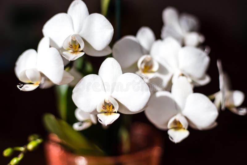 Weiße Orchidee lokalisiert auf schwarzem Hintergrund, Phalaenopsisblume stockfoto