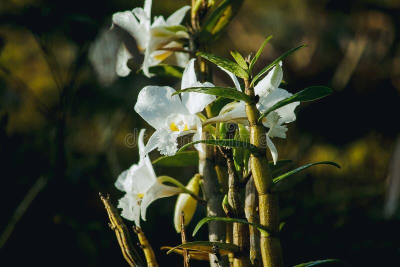 Weiße Orchideen blühen im Wald stockfotos