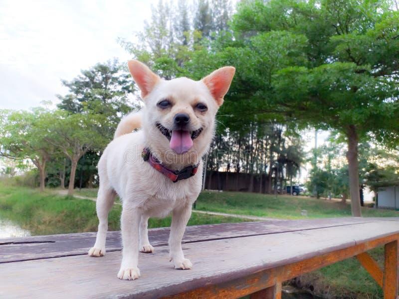 Weiße Pomeranian-Welpen in Thailand auf Sommer stockfotos