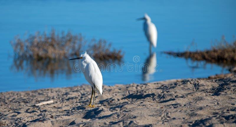 Weiße Reiher, die in Santa Clara River an der McGrath-Nationalparkreserve in Ventura California USA sich reflektieren stockbild