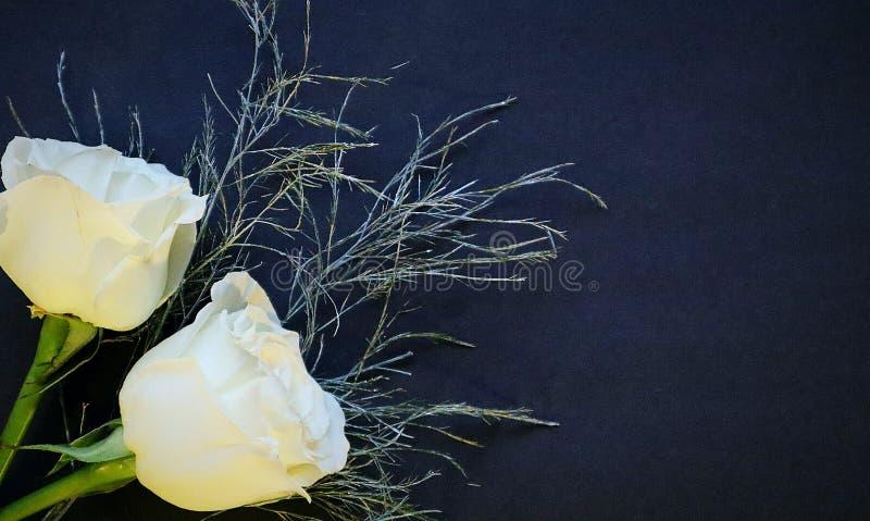 2 weiße Rosen auf einem schwarzen Hintergrund stockbilder