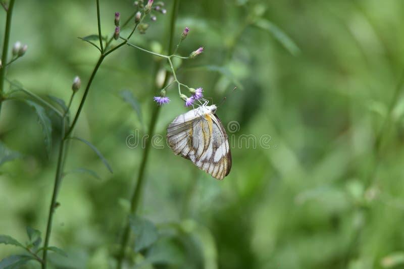 Weiße Schmetterlinge saugen buntes Blumenwesentliches im Garten morgens lizenzfreie stockfotos