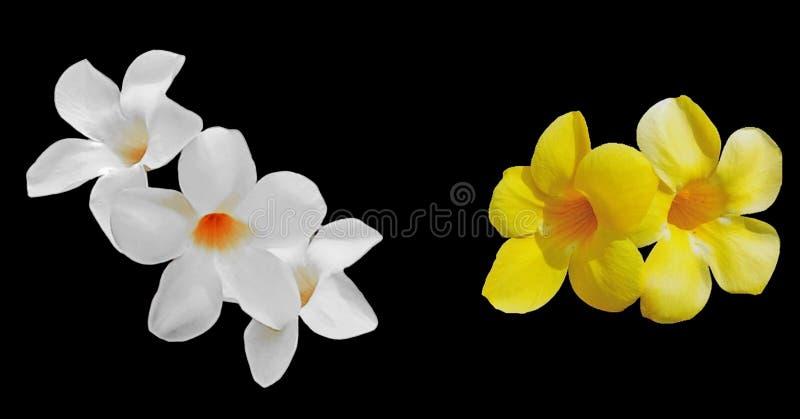 Weiße und gelbe Allamanda cathartica Blumen stockfotografie