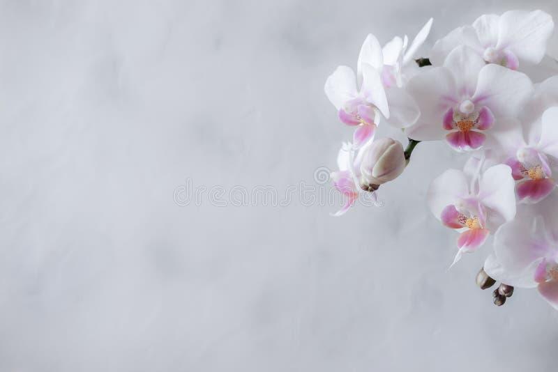 Weiße und rosa Phalaenopsisorchidee auf einem weißen Hintergrund lizenzfreie stockbilder