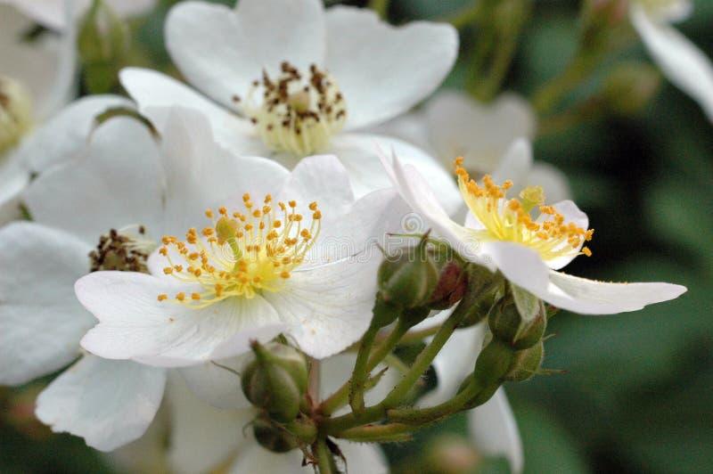 Weiße wilde Rosen-Nahaufnahme der Schande und des Staubgefässes stockfotos