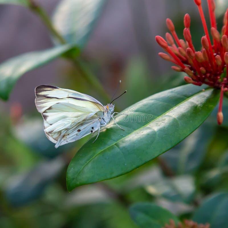 Weißes, möglicherweise weißer Schmetterling des Kohls auf einem grünen Blatt stockbilder