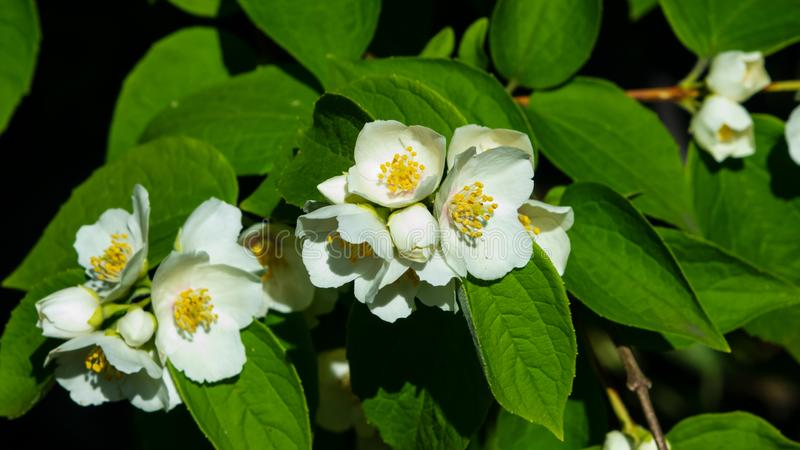 Wei?e Blumen auf Spott-orange Strauch mit bokeh Hintergrund, Makro, selektiver Fokus, flacher DOF stockfotos