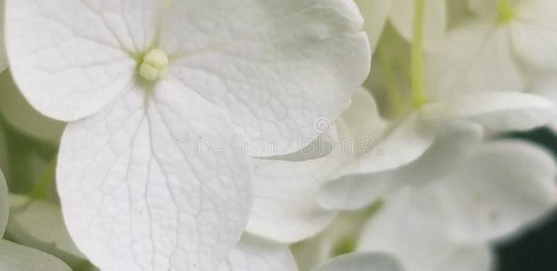 Wei?e Blumen lizenzfreie stockbilder