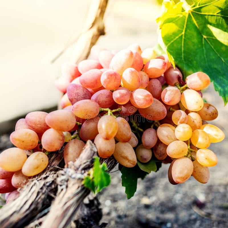 Wei?e Trauben in einem Weinbergabschlu? oben Reife gr?ne Weinreben Autumn Harvest lizenzfreie stockfotos