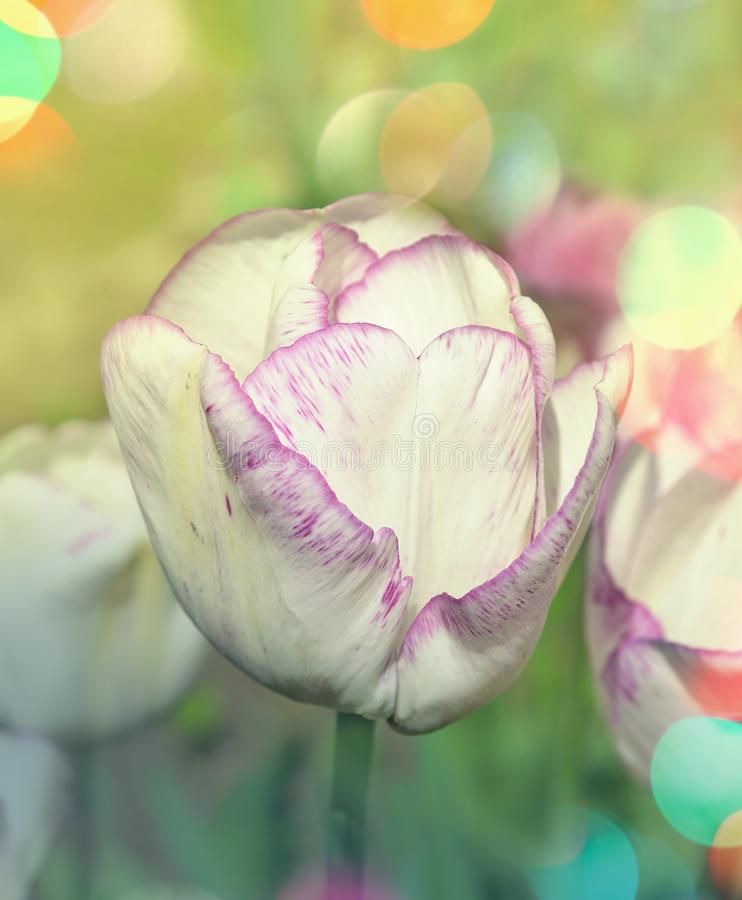 Wei?e Tulpe im Garten lizenzfreie stockfotos