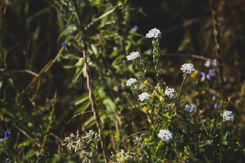 Wei?e Wildflowers Weicher Fokus Es gibt einen Platz f?r Text stockbilder