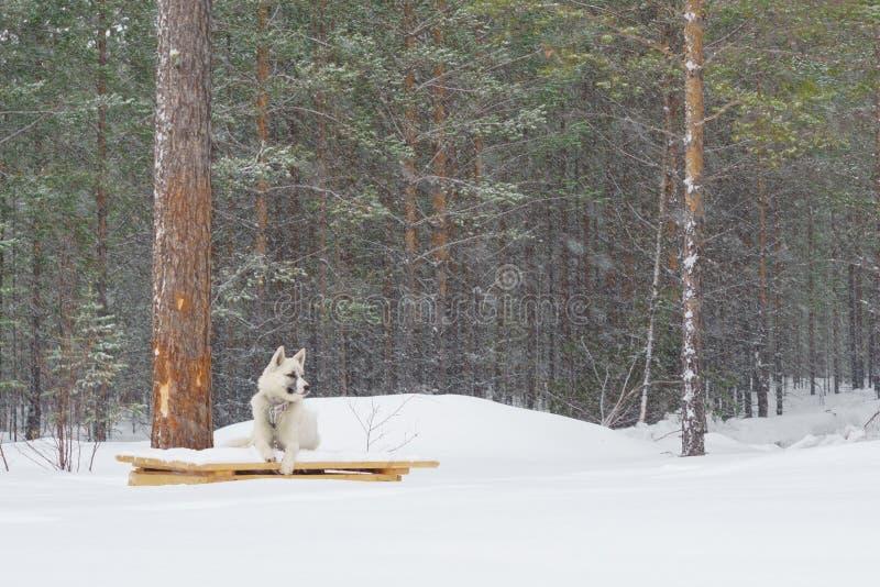 Wei?er Hund auf einer Kette im Winter stockfoto