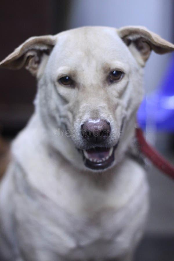 Wei?er Hundegerades Gesicht lizenzfreie stockbilder
