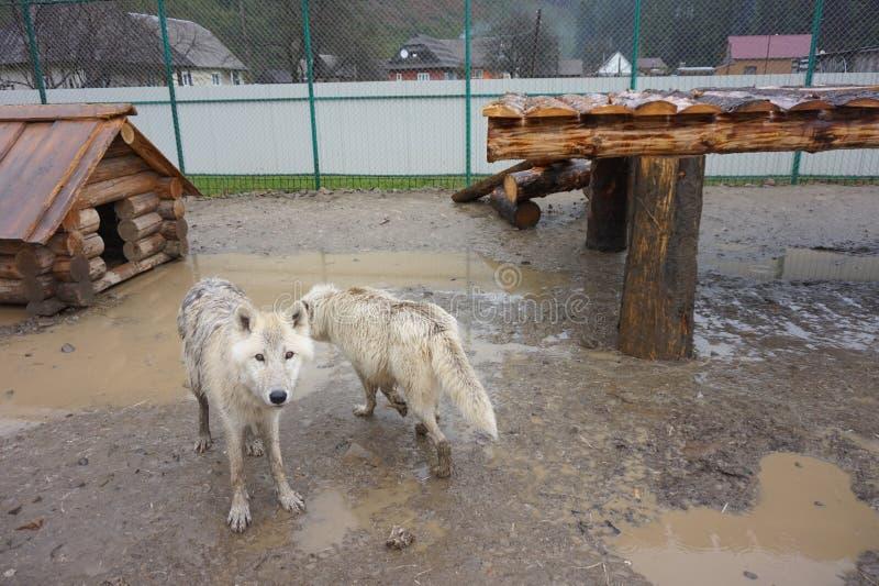 Wei?er polarer Wolf im Zoo stockfotografie