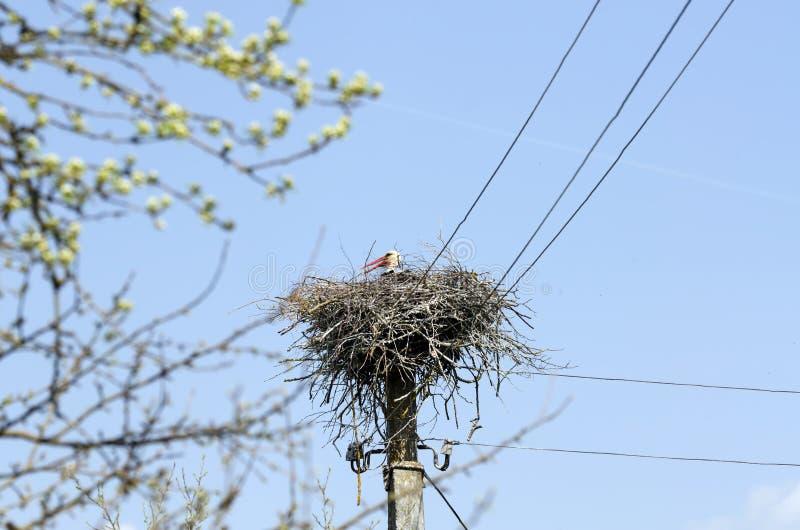 Wei?er Storch ciconia ciconia im Nest lizenzfreie stockbilder