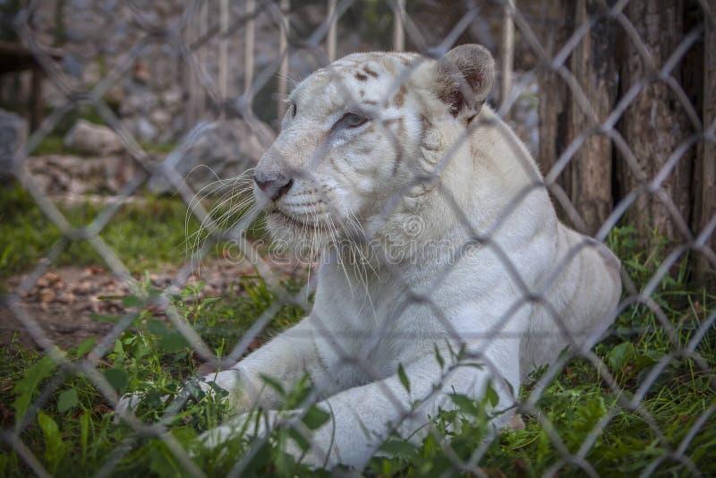 Wei?er Tiger stockbilder