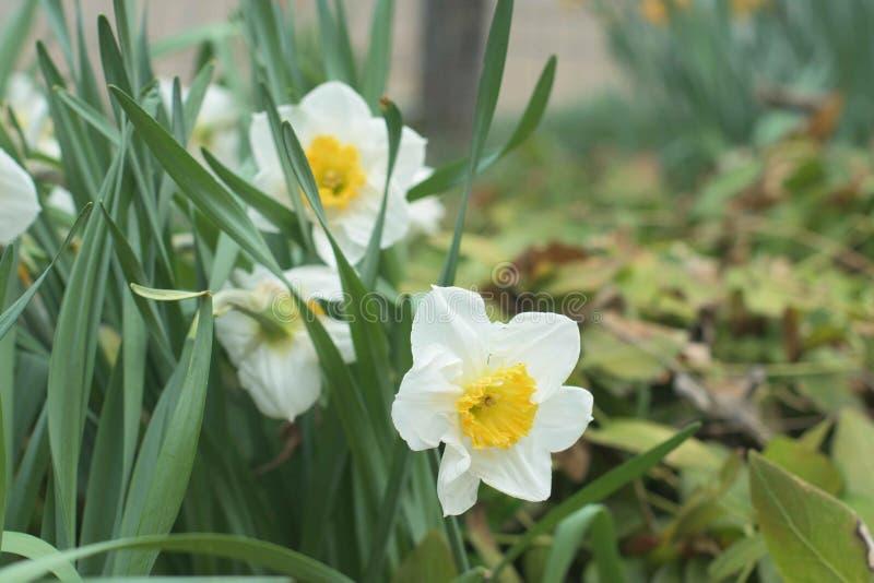 Wei?er und gelber Tazetta Narcissus Flowers lizenzfreies stockbild