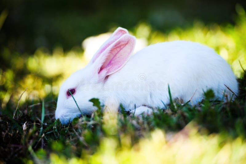 Wei?es Kaninchen im Garten Flaumiges Häschen auf grünem Gras, Frühlingszeit stockfotos