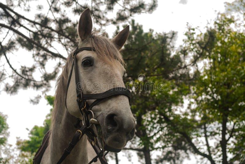 Wei?es Pferd Wei?er Grauschimmel, der auf dem gr?nen Gras im Wald, Pferd vorgespannt im ledernen Geschirr, nah herauf Portr?t wei lizenzfreie stockbilder