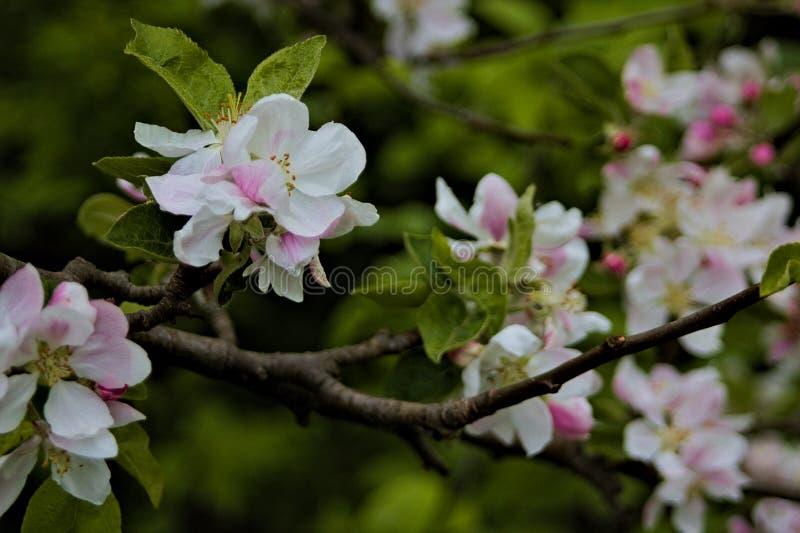 Wei?-rosa Blumen auf brauner Niederlassung mit gr?nen Bl?ttern lizenzfreies stockfoto