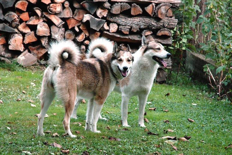Weibchen-und Hundewestsibirier Laika lizenzfreies stockfoto
