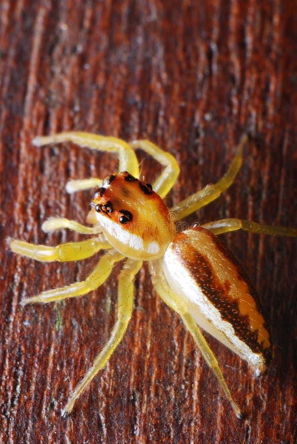 Weibliche Überbrücker-Spinne lizenzfreie stockfotografie