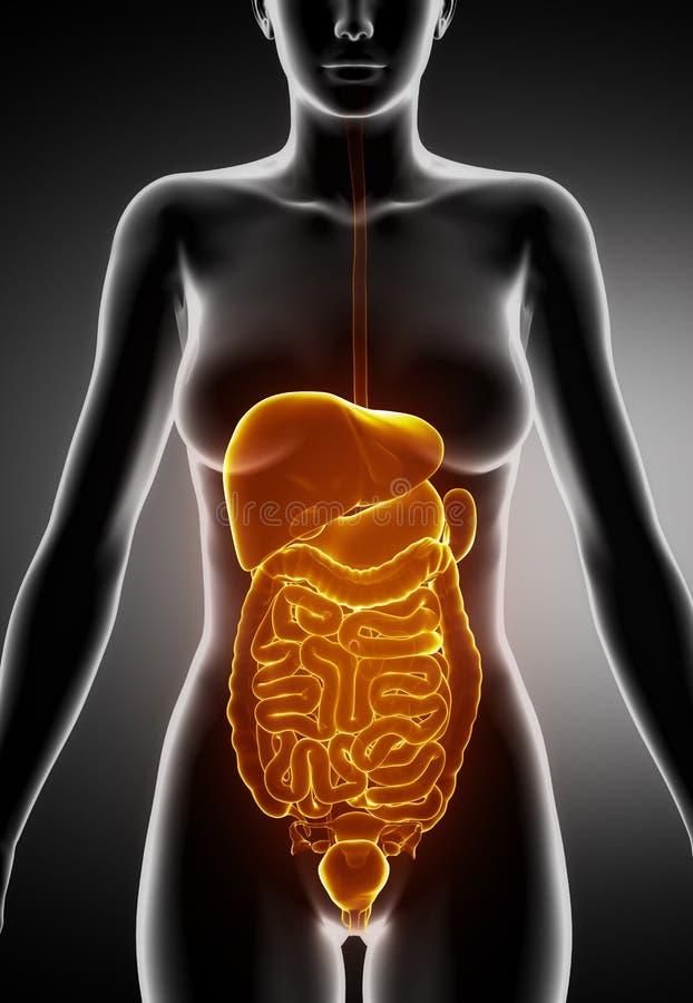 Weibliche Abdominal- Organe Stock Abbildung - Illustration von quer ...