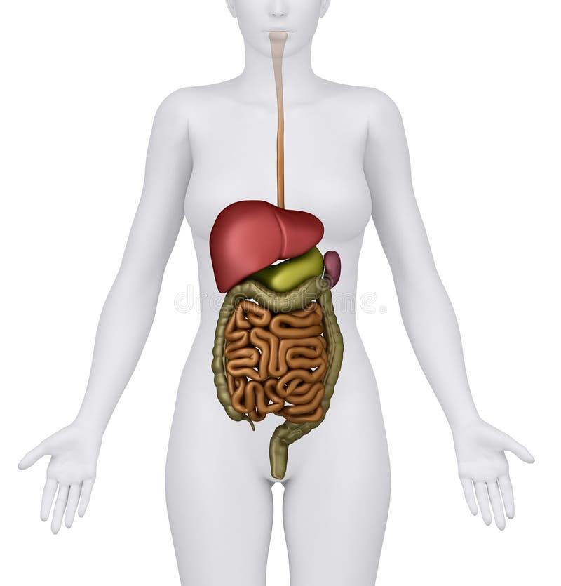 Weibliche Abdominal- Organe getrennt stock abbildung