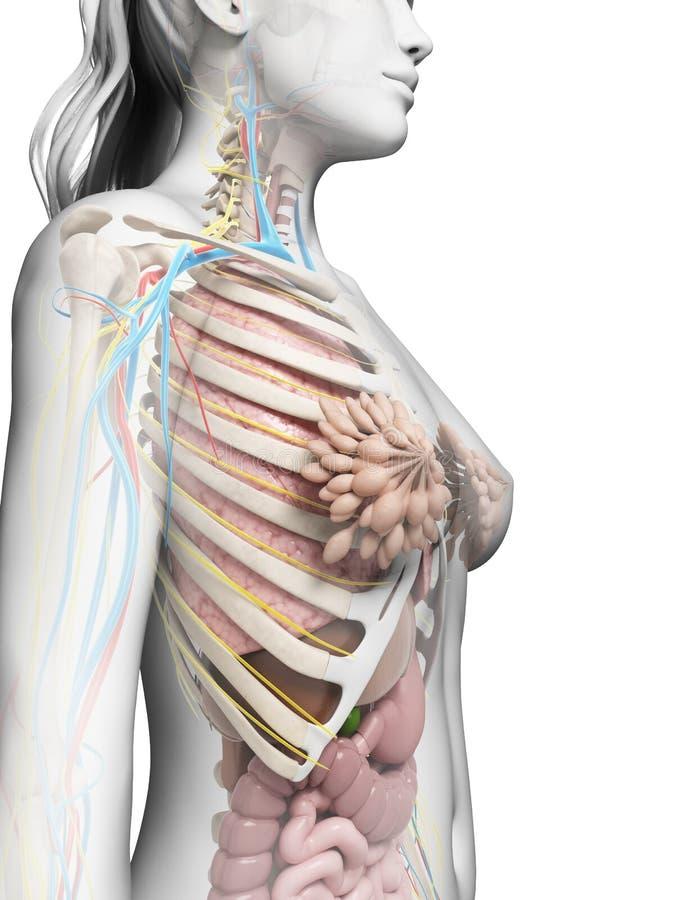 Atemberaubend Medizinische Bilder Der Weiblichen Anatomie Galerie ...