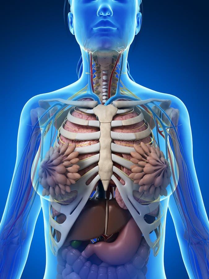 Weibliche Anatomie stock abbildung. Illustration von ösophagus ...