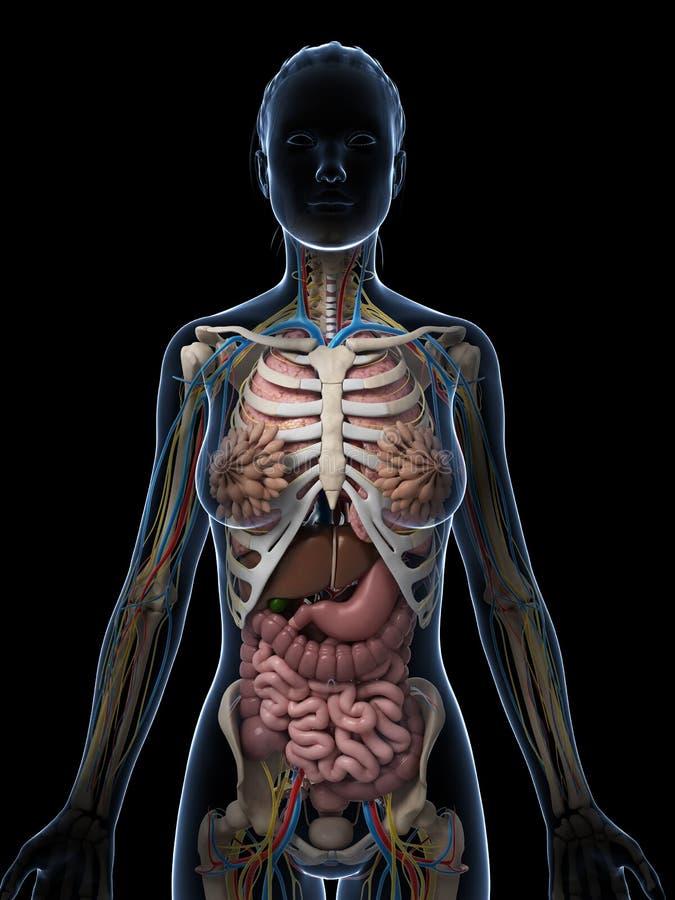 Berühmt Unterschied Zwischen Männlichen Und Weiblichen Anatomie ...