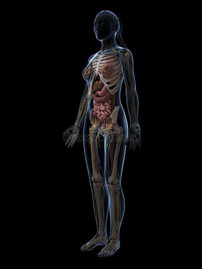 Weibliche Anatomie stock abbildung. Illustration von kreuz - 30725894