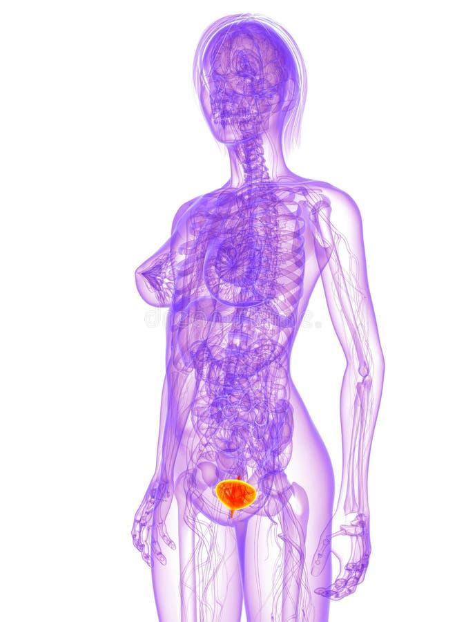 Weibliche Anatomie - Blase stock abbildung. Illustration von bauch ...