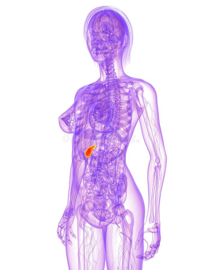 Weibliche Anatomie - Gallenblase Stock Abbildung - Illustration von ...