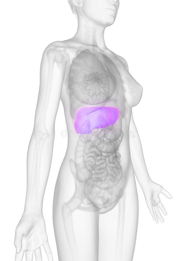 Weibliche Anatomie - Leber lizenzfreie abbildung