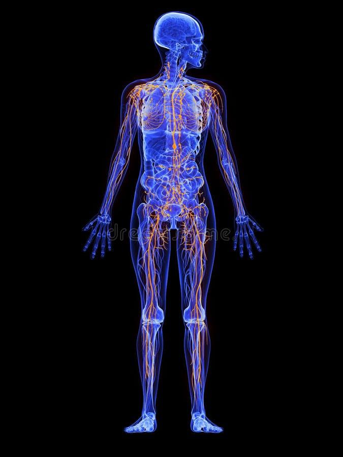 Nett Anatomie Und Physiologie Des Lymphsystems Fotos - Menschliche ...