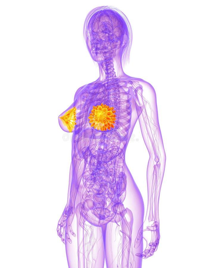 Weibliche Anatomie - Milch- Drüsen vektor abbildung