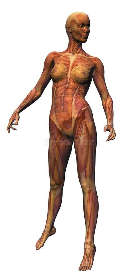 Weibliche Anatomie - Muskulatur w lizenzfreie abbildung