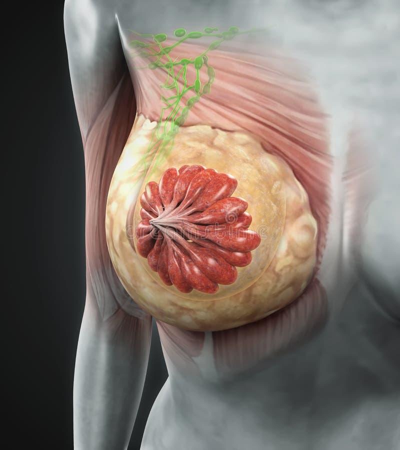 Weibliche Brust-Anatomie stock abbildung. Illustration von hormon ...