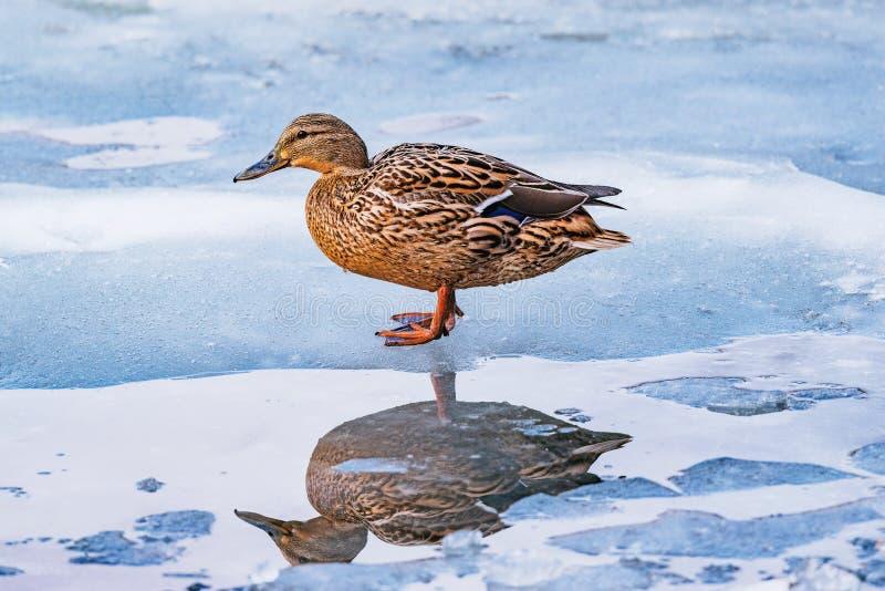 Weibliche Ente auf der Seeoberfläche stockfotografie