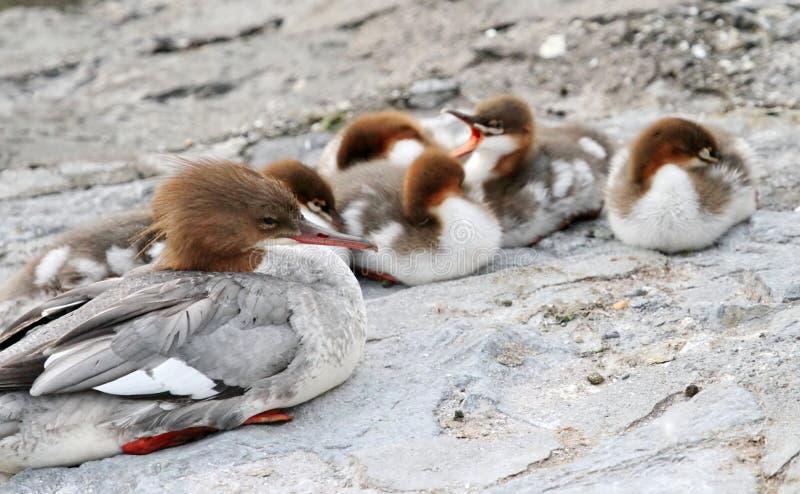 Weibliche Ente und Entlein Gänsesäger Mergus stockfoto