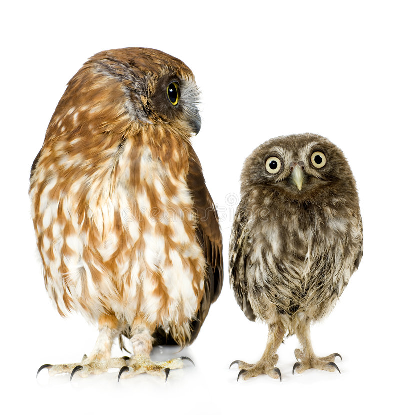 Weibliche Eule und ein Owlet lizenzfreie stockfotografie