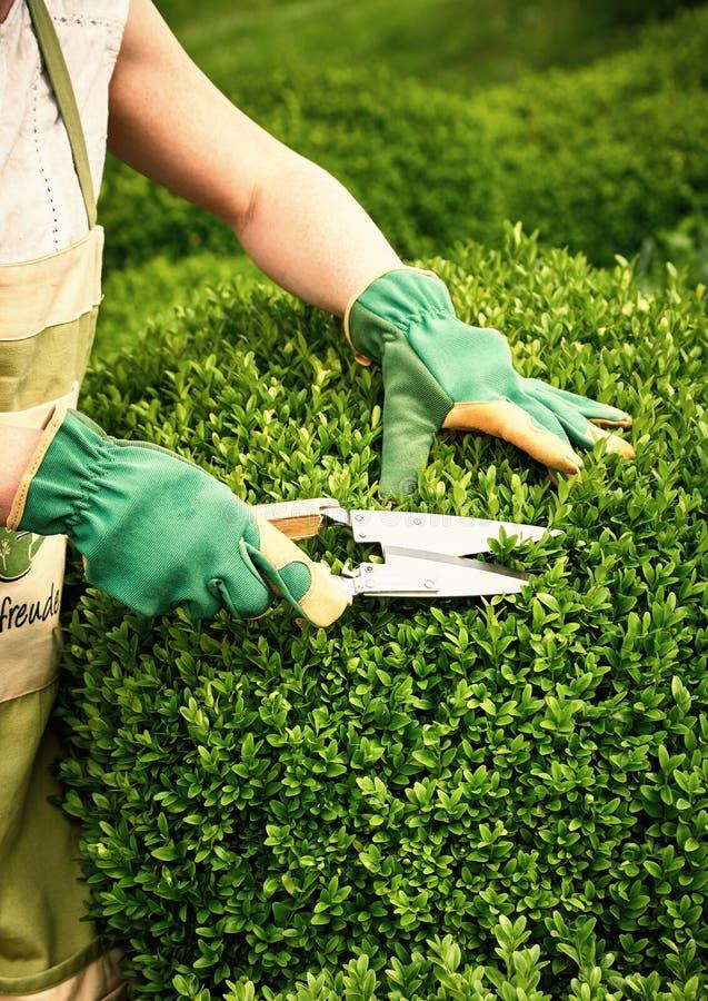 Weibliche Gärtnerbeschneidung eine formale Ligusterhecke des Buxus stockfotos